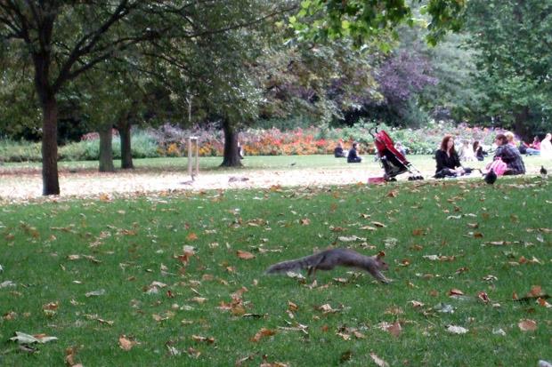 Die Eichhörnchen spielen im St. James Park in London