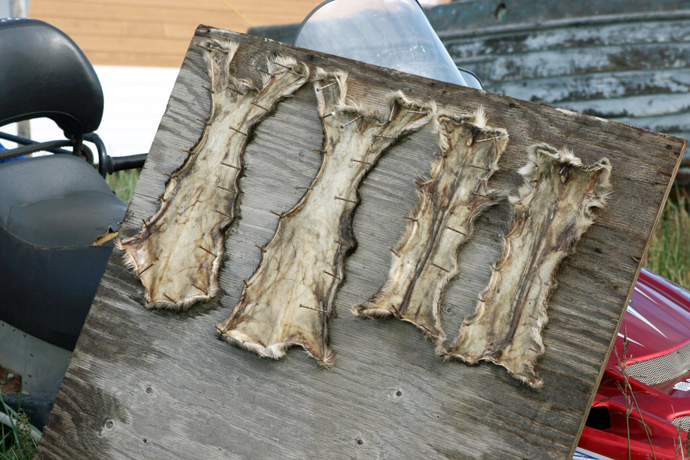 Tierfelle in Tuktoyaktuk von Trappern in Kanada