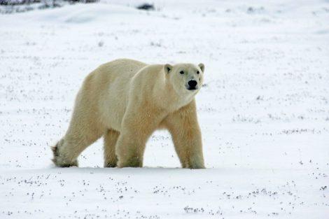 Eisbär an der Hudson Bay bei Churchill in Manitoba Kanada