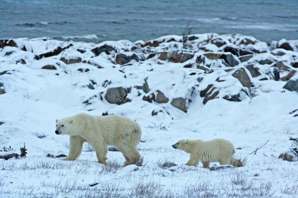Eine Eisbärmutter mit ihrem Jungtier an der Küste der Hudson Bay in Churchill in Kanada