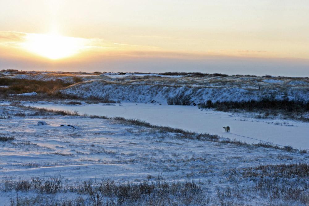 Ein Eisbär läuft dem Sonnenuntergang in der Arktis an der Hudson Bay bei Churchill entgegen