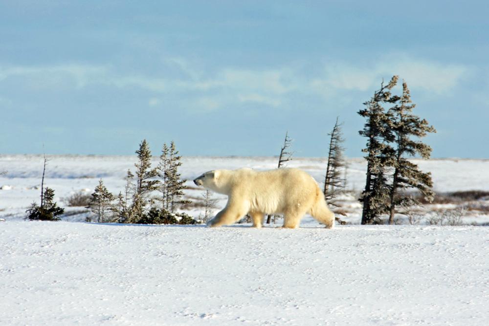 Ein Eisbär in der Arktis der Hudson Bay bei Churchill Manitoba in Kanada