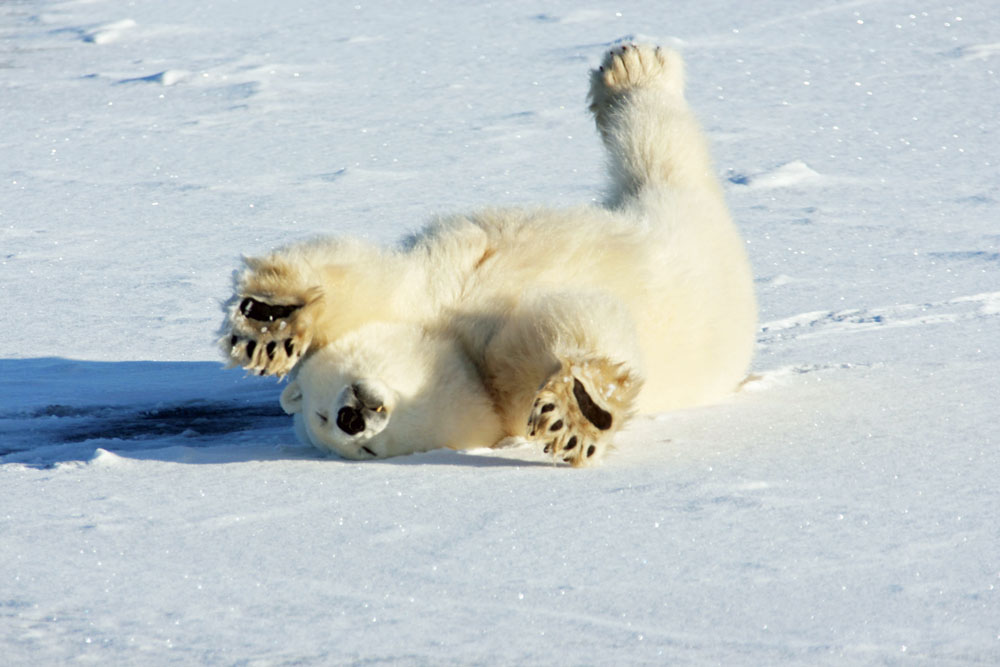 Lustiger Eisbär