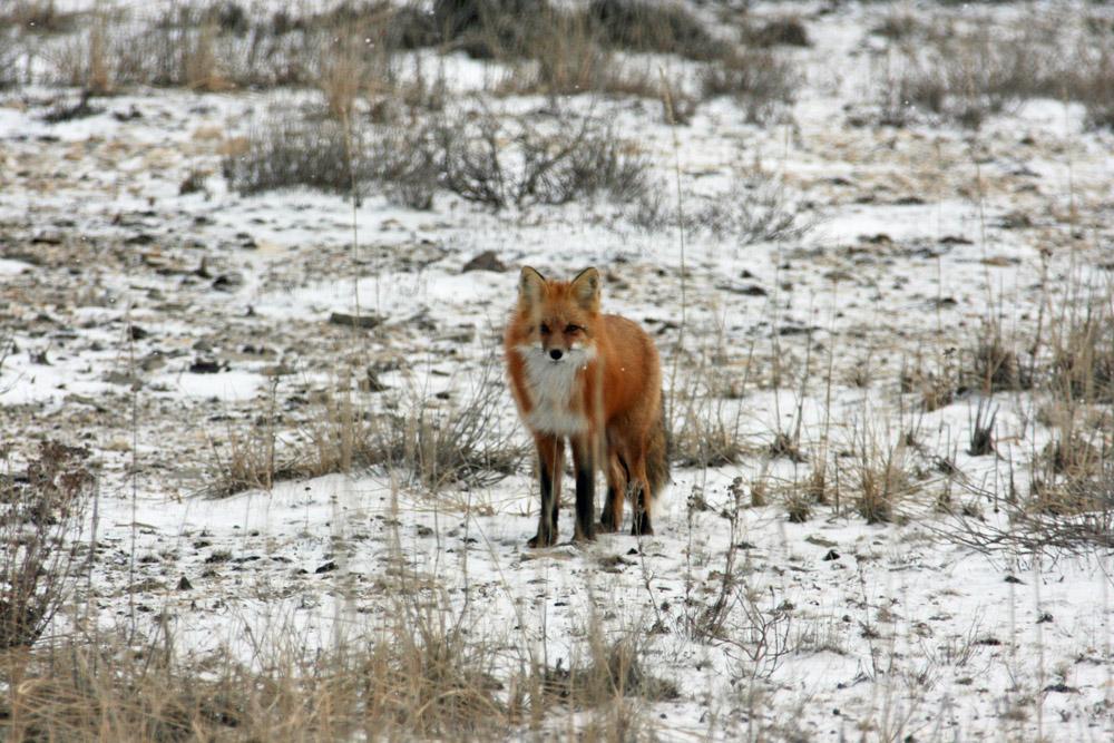 Rotfuchs in der Arktis von Kanada bei Churchill in Manitoba