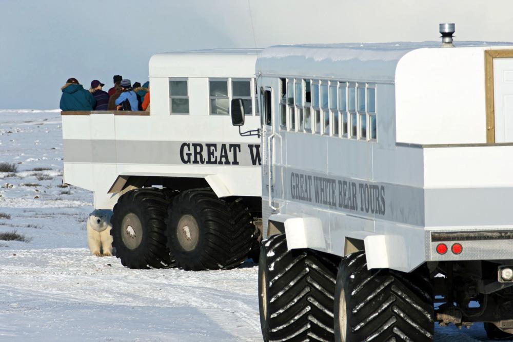 Eisbär unter einem Tundrabuggy in Churchill Manitoba in Kanada
