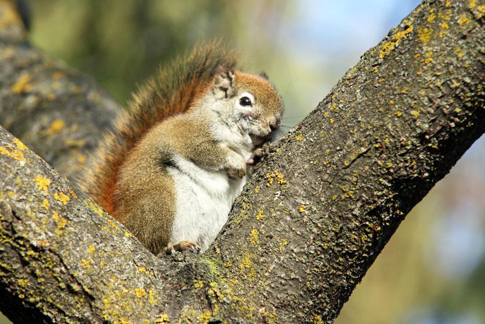 Ein Eichhörnchen in Winnipeg Kanada