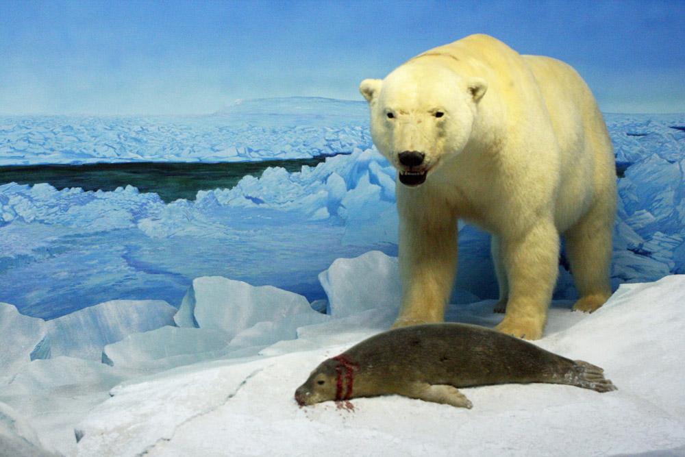 Eisbär auf der Jagd nach einer Robbe in der Arktis