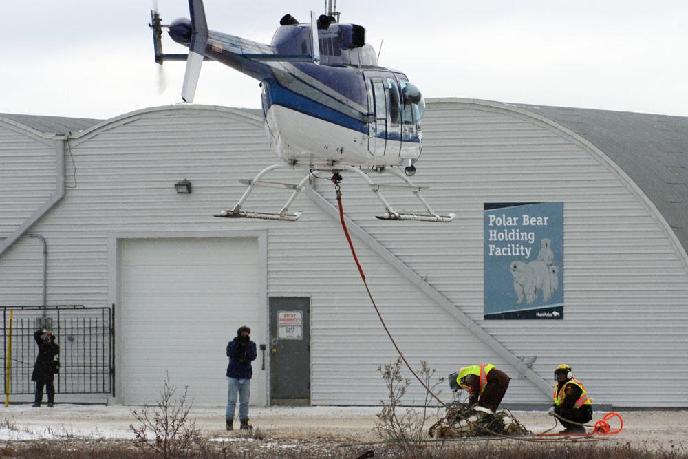 Die Eisbären werden vom Eisbärengefängnis in Churchill mit einem Hubschrauber in die Arktis Kanadas geflogen