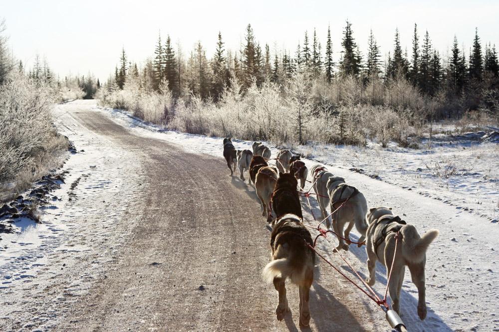 Insgesamt 27 Schlittenhunde hat David (Dave) Daley. In der Nähe von Churchill an der Hudson Bay bietet er mit ihnen Rundfahrten an und nimmt selbst an Schlittehunderennen wie dem Hudson Bay Quest teil.