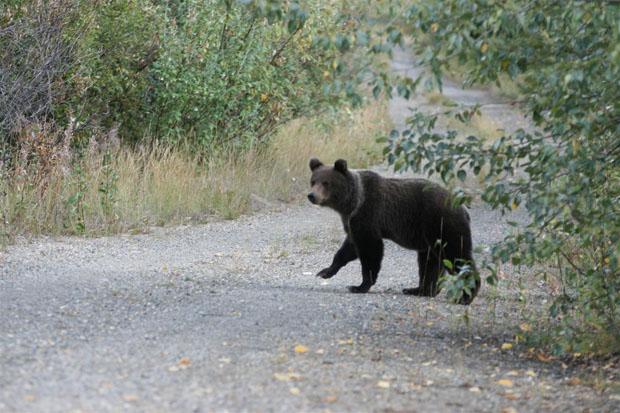 Auch wenn Bären eher scheu sind, haben wir gute Chancen, sie in der Region zu beobachten. Hier eines der Jungtiere auf einem Feldweg bei Georgsmarienhütte.