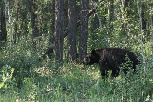Auf dem Rückweg zeigte sich ein Schwarzbär am Straßenrand