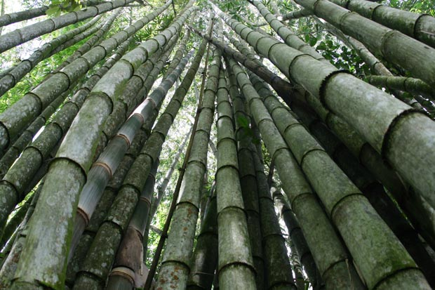 Eindrucksvolle Bambuswälder.