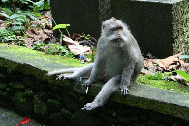Viele Touristen haben auch ihre Schattenseiten. Dieser Affe ist zum Raucher geworden.
