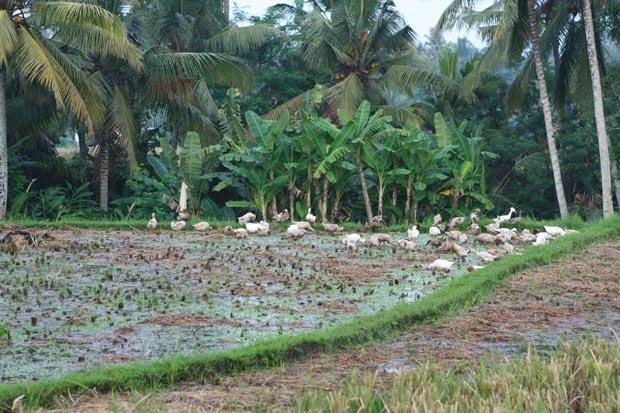 Inmitten der Reisfelder fühlten sich Enten wohl.
