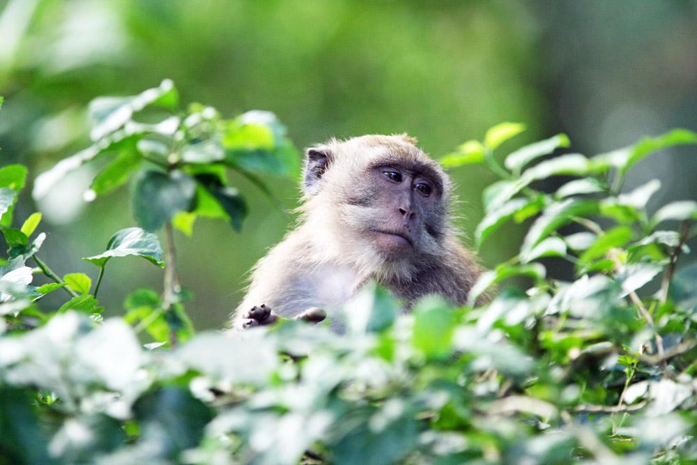 Ein Affe im Monkey Forest Ubud auf Bali in Indonesien