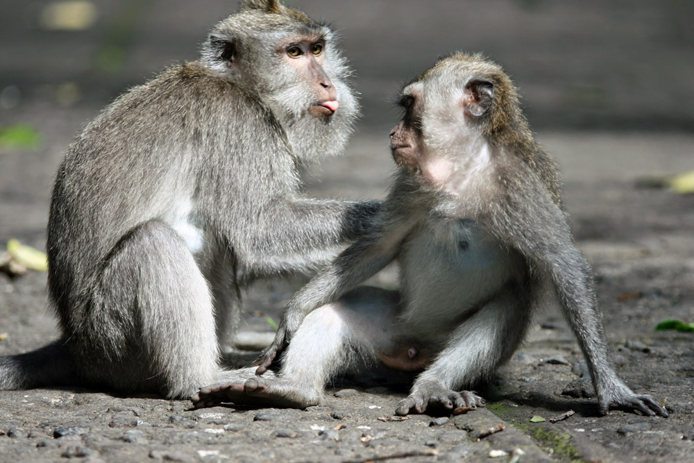 Zwei Affen im Monkey Forest Ubud