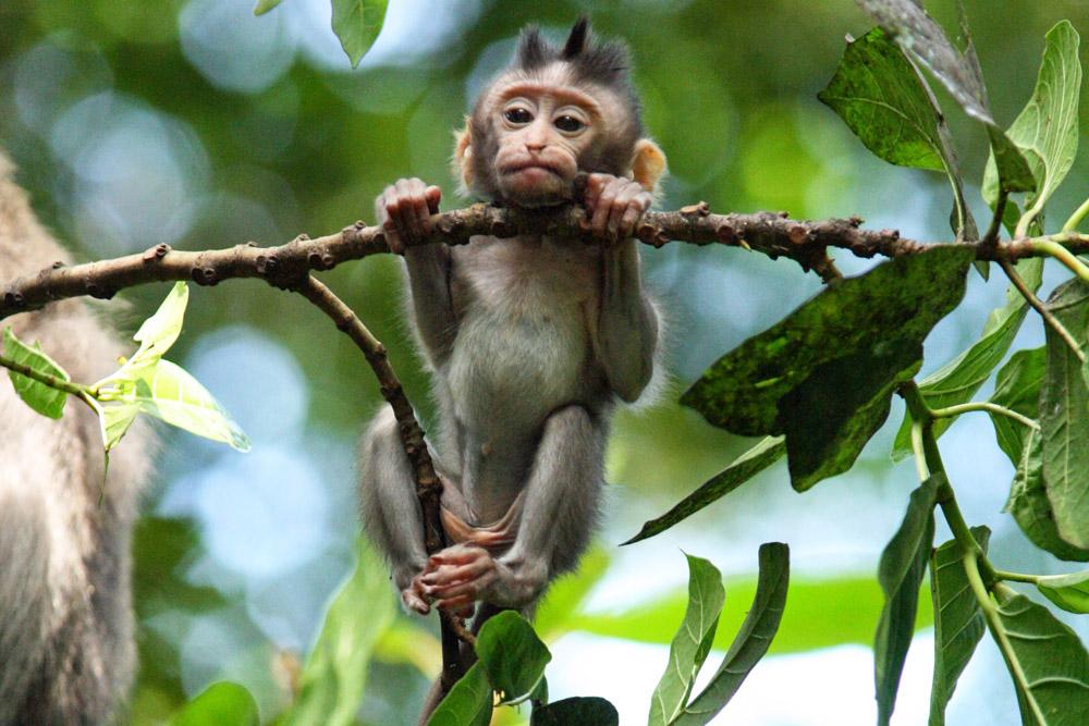 Jungtier eines Babyaffen im Monkey Forest Ubud auf Bali
