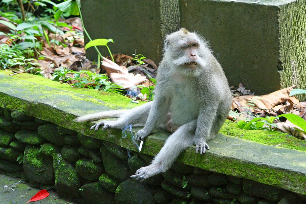 Dieser Affe im Monkey Forest Ubud auf bali in Indonesien raucht eine Zigarette
