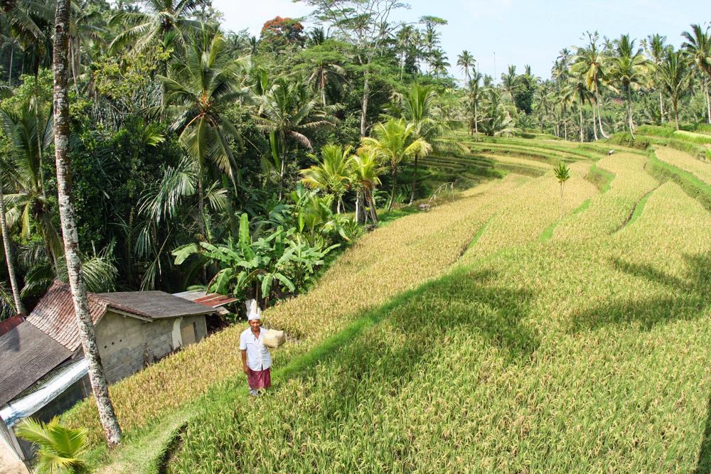 Typischen Ansicht von Bali mit den Reisterrassen