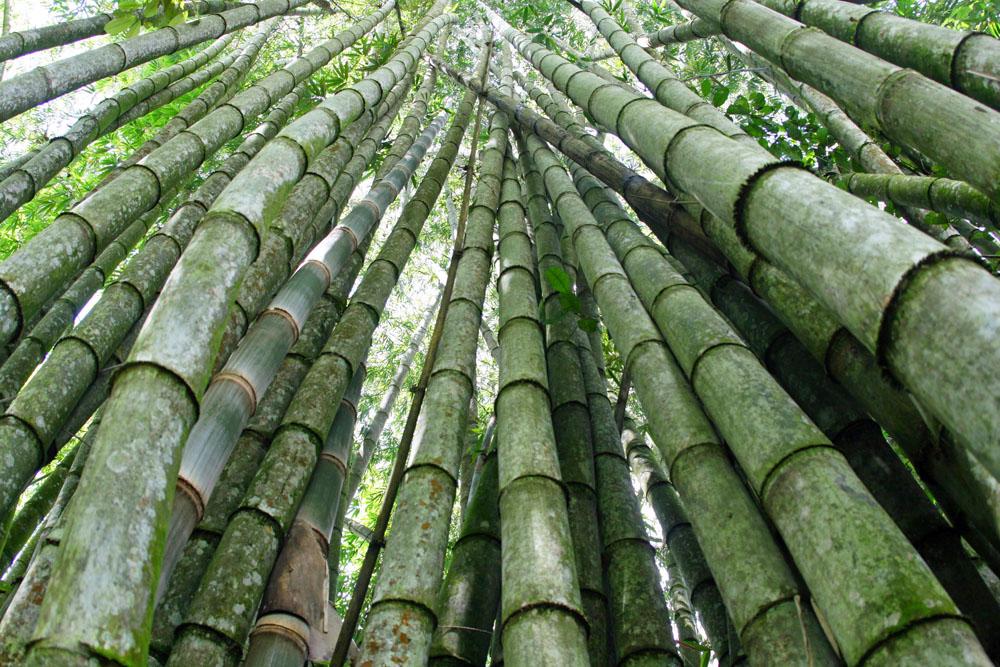 Eindrucksvolle Bambuswälder in Indonesien