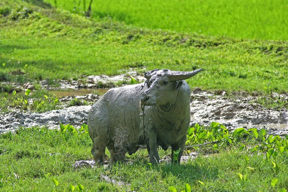 Wasserbüffel, die ausschließlich als Opfertiere gehalten werden, sind im ganzen Toraja-Land auf Sulawesi in Indonesien zu finden.