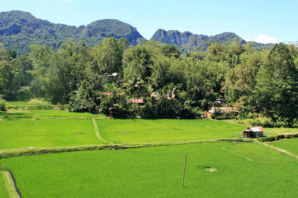 beim Wandern auf Sulawesi sieht man immer wieder reisfelder im tana Toraja Land
