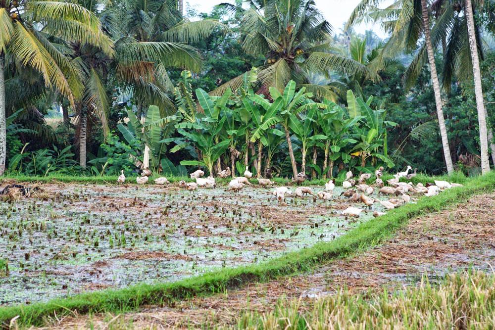 Inmitten der Reisfelder auf Bali fühlten sich Enten wohl.