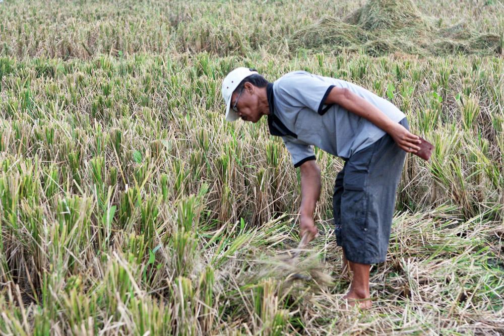 Ein Reisbauer bei der Ernte auf Bali in Indonesien