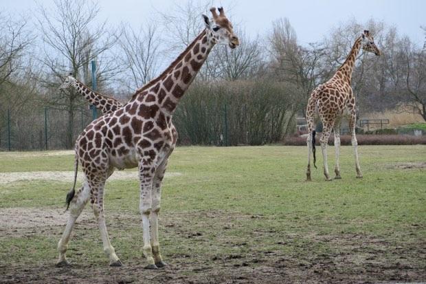 Giraffen gibt es ebenfalls im Tierpark