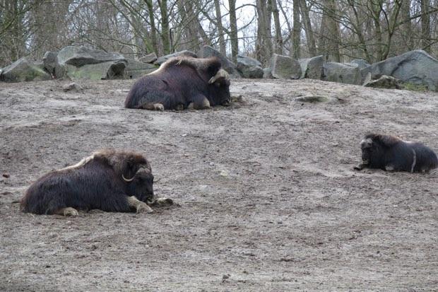 Moschusochsen sind in Zoos eher selten zu finden