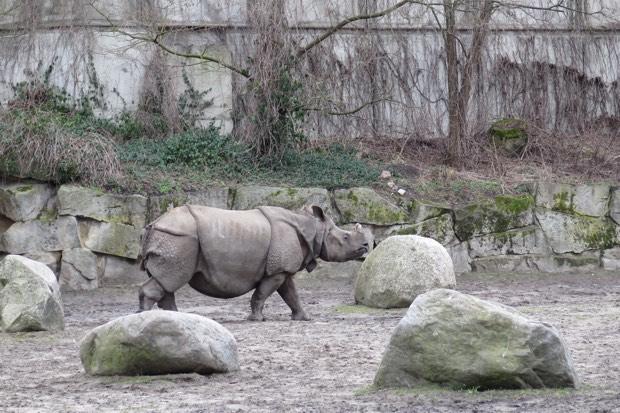 Auch Panzernashörner gibt es in Zoos nicht oft zu sehen