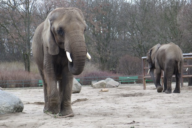 Elefanten gibt es eigentlich in jedem Zoo