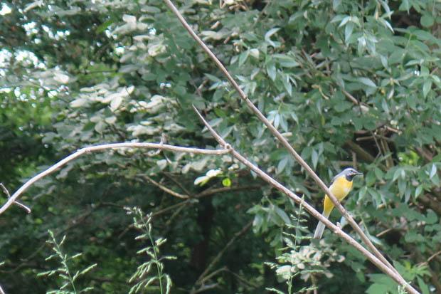 Besonders schön fand ich diese gelben Vögel