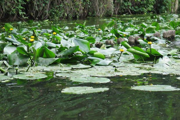 Einige Wasserpflanzen blühten wunderschön