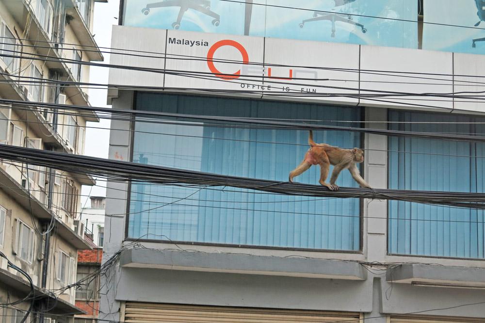 Affen kletterten auf den Stromleitungen in Kathmandu in Nepal