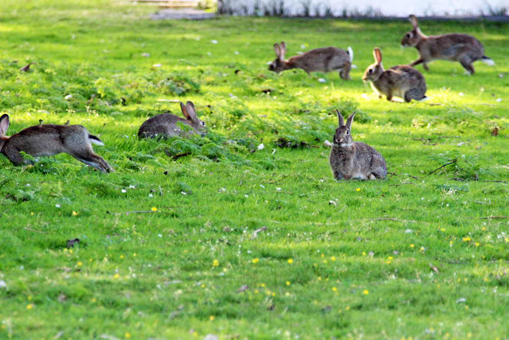 Kaninchen auf Norderney