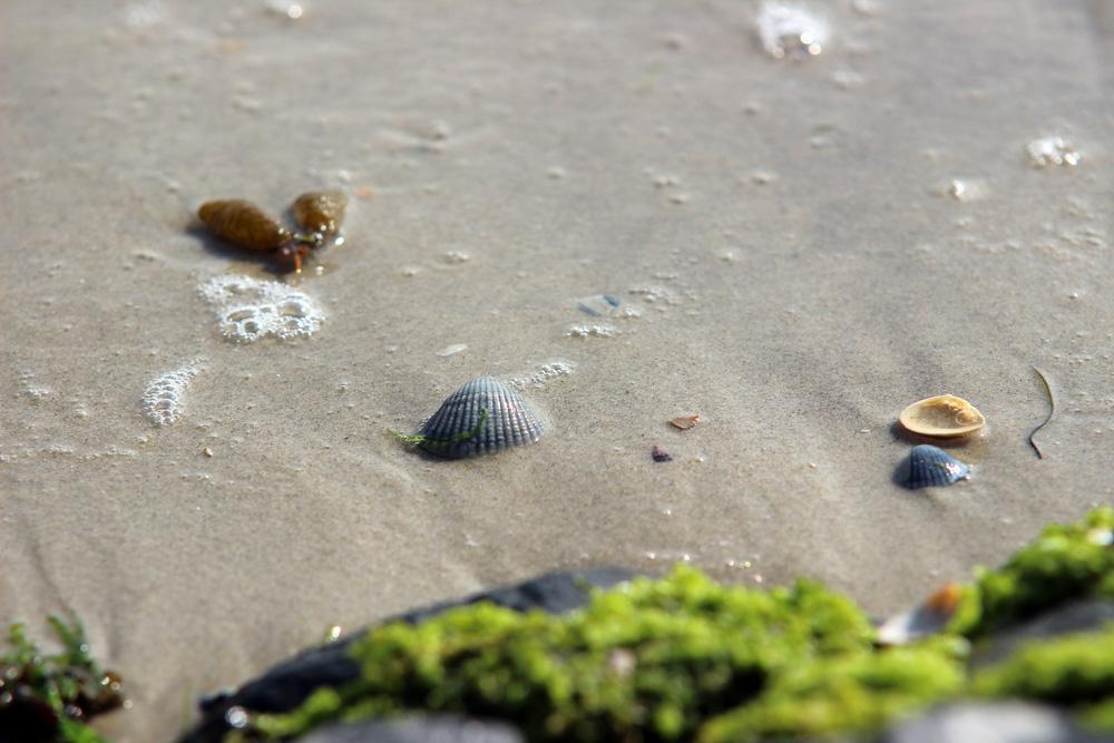 Muscheln am Strand von Norderney in der Nordsee