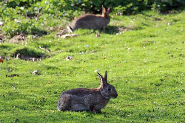 Kaninchen tummeln sich vor allem am Parkplatz an der Beckstraße reichlich