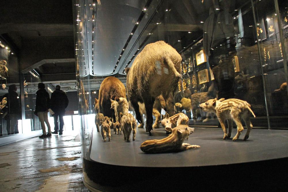 Die Art der Präsentation wie von diesen Wildschweinen im Ruhr Museum auf der Zeche Zollverein im Ruhrgebiet ist sehenswert
