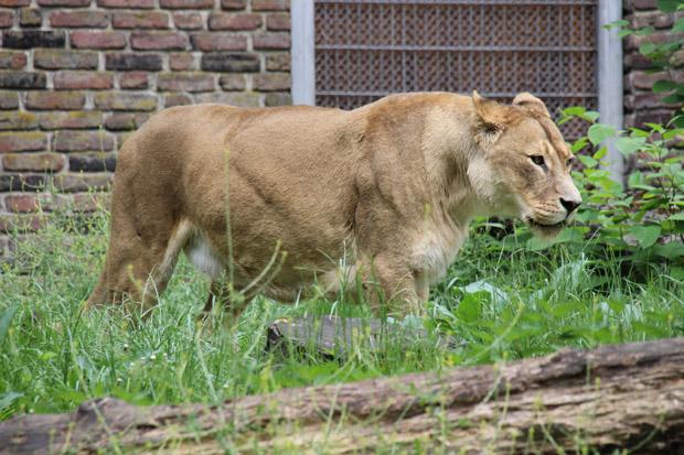 Löwen finden sich wohl in jedem größeren Zoo