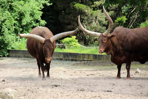 Watussi-Rinder sind eine imposante Erscheinung