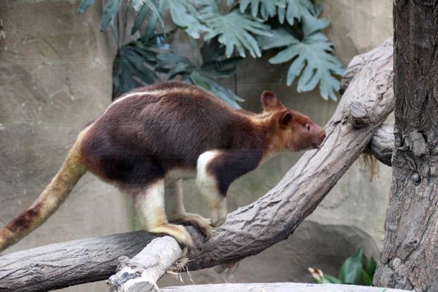 Auch andere australische Tiere wie ein Baumkänguruh oder Wombats leben hier