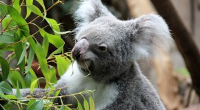 Wo in Deutschland Koalas leben
