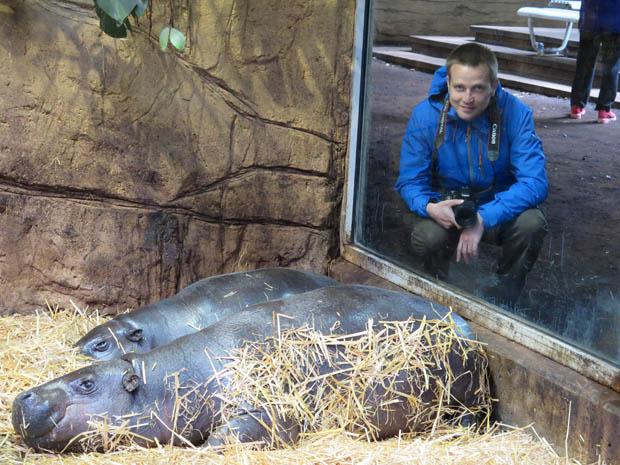 Auch Zwergflusspferde leben im Äquatorium