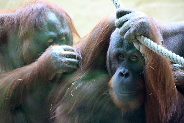 Manche Affen schauen einfach traurig
