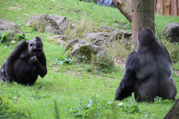 Gorillas sind ebenfalls zu sehen
