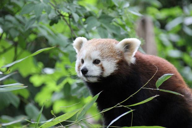 Sind kleine Pandas nicht besonders niedlich?