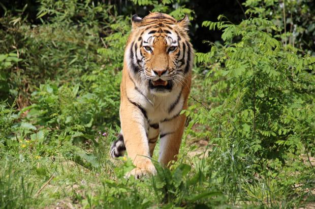 Der Anblick eines Tigers fasziniert immer wieder
