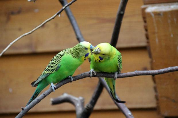 Diese Vögel dürften viele aus dem heimischen Wohnzimmer kennen