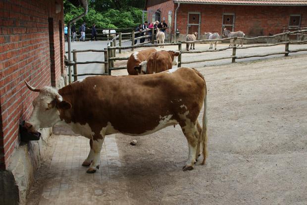 Rinder bewohnen ebenfalls das Areal des Streichelzoos